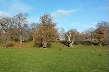 Moccas Park NNR: Sponsor a Tree at Moccas Hill Wood